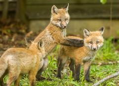 IMGL1398 Pugwash Red Fox Kit(s) (Wallace River) Tags: foxes novascotia pugwashfoxes redfoxes