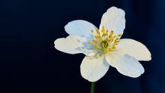 Buschwindröschen - windflower (joachim.kracher) Tags: blume windflower buschwindröschen natur outdoor