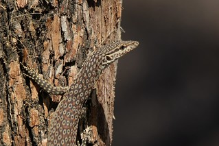 Ring-tailed Monitor