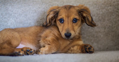 Winnie (KC Mike Day) Tags: daschund wiener puppy love hair long relaxing chillin