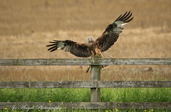 Red Kite (jo.angell) Tags: red kite bird prey wild wildlife nature field meadow