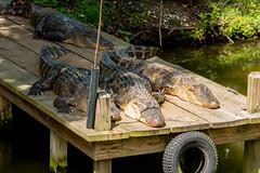 IMG_7447.jpg (pastough) Tags: louisiana alligatormississippiensis neworleans may2018 americanalligator audubonzoo