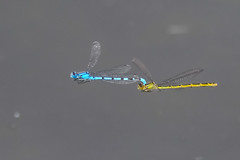 The foot high club (Paul Wrights Reserved) Tags: dragonfly dragonflies mating midair insect inflight insects copulating nature naturephotography flying fly flight flyinginsect