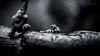 Shy Baby BW (Thomas TRENZ) Tags: dreihornchamäleon jacksons nikon reptil reptile tamron thomastrenz trioceros baby blackwhite bw chameleon hello jacksonii little macro makro schwarzweiss schüchtern shy sw