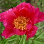 Au jardin, pivoine de Chine (Paeonia lactiflora), Bosdarros, Béarn, Pyrénées Atlantiques, Aquitaine, France. thumbnail