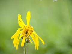 P6100104 (turbok) Tags: alpenpflanzen arnika pflanze wildpflanzen c kurt krimberger