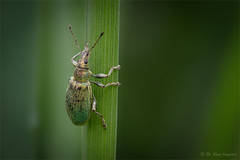 climbing up (klaus.huppertz) Tags: kirchhausen beetle käfer insekt insect tier animal natur nature outdoor wildlife rüsselkäfer weevil nettleweevil brennesselgrünrüssler phyllobius pomaceus grün green makro macro nikon nikond750 d750 nikkor fauna 200mmf4dmicro