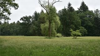 Im Baccumer Wald - Feuchtwiese mit Trauerweide; Lingen (1)