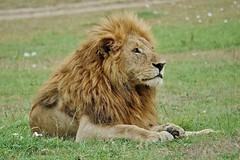 Male Lion At Rest (Susan Roehl) Tags: kenya2015 masaimaranationalreserve kenya eastafrica lion male animal mammal carnivore predator grass wildflowers outdoors sueroehl photographictours naturalexposures panasonic lumixdmcgh4 100300mmlens handheld takenfromjeep slightlycropped ngc
