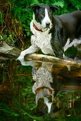 Zac in his favourite pool in Birnam Wood (grahamrobb888) Tags: afnikkor80200mm128ed nikon nikond800 nikkor d800 zac dog pet animal birnamwood birnam perthshire scotland forest water reflection