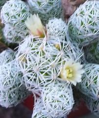 Mammilaria gracillis (patriciamura) Tags: blossom flor flores flower flowers plantas jardin jardines garden cactus arbol tree chile worldflowers nature flora botanic botanica