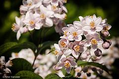 Deutzie / Deutzia (peterkaroblis) Tags: maiblumenstrauch deutzie deutzia garten garden blume flower blüte hydrangeaceae