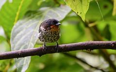 Ixothraupis rufigula o Tangara rufigula (Jaime Andres Herrera Villarreal) Tags: green yosoynikon nikond800 yopajareo birdwatching bird pajariaresunachimba vivoenelparaiso
