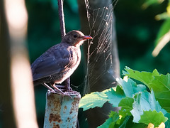 Черный дрозд (grizlena) Tags: черныйдрозд дрозд птицы птица лето природа nature turdusmerula commonblackbird
