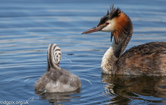 Great Crested Grebe with Young (Danny Gibson) Tags: birds bird waterfowl water birdwatching birding birdphotography birder nature naturephotography greatcrestedgrebe grebe grebes young juvenile feeding lake dgpixorguk canon7dmk2 sigma150600mmhsmosdg wildlife wildlifephotography