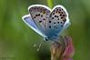 Plebejus argus (Linnaeus, 1758) (ajmtster) Tags: flor macro mariposas lepidopteros onobrychisvicifolia plebejusargus niña contraluz licenidos lycaenidae butterfly butterflies