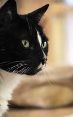 Profile of a Cat.. (catherine4077) Tags: cat feline blackandwhite pigsanimalsanctuary shepherdstown westvirginia