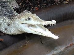 Süßwasserkrokodil, Crocodylus johnsoni (R.S. aus W.) Tags: tier animal naturschutz artenschutz natur art spezies schutz erhaltungszucht