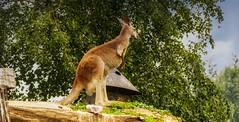 KANGOUROU - 5312 (YᗩSᗰIᘉᗴ HᗴᘉS +17 000 000 thx) Tags: kangourou pairidaiza zoo animal belgium europa aaa namuroise look photo friends be wow yasminehens interest intersting eu fr greatphotographers lanamuroise tellmeastory flickering