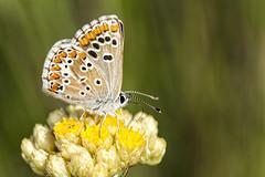 Aricia cramera (Jaume Bobet) Tags: aricia cramera lepidoptera lycaenidae mariposa insecto macro bobet canon sigma