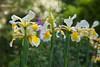 Summer Iris @ SE15 (Adam Swaine) Tags: iris white flora flowers peckhamryepark londonparks london england english summer britain british petals naturelovers nature canon beautiful sunlight uk