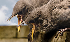 feeding time (jeff.white18) Tags: starlings fledglings bird birds beak feeding nature wildlife hungry