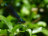 Beautiful Demoiselle (Male) (ukstormchaser (A.k.a The Bug Whisperer)) Tags: beautiful demoiselle male uk damselfly damselflies animal animals wildlife milton keynes bucks buckinghamshire june spring summer woods woodland basking perched