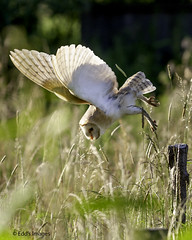 Dive (Edd's Images) Tags: barnowl dive birds wildbirds wildlife norfolk uk canonef400f56lusm canon1dmrkiii
