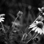 Coneflowers - B &W version thumbnail
