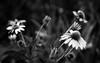 Coneflowers - B &W version (Anne Worner) Tags: anneworner blackandwhite d7000 helios44m nikon silverefex bw bloom blossom bokeh coneflower cones echinacea f20 fauna flora flower floweringblossoming flowers garden manualfocus manualfocuslens nature outdoors outside petals pink plants selectivefocus shallowdof stamens