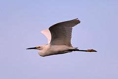 06-14-18-0022577 (Lake Worth) Tags: animal animals bird birds birdwatcher everglades southflorida feathers florida nature outdoor outdoors waterbirds wetlands wildlife wings