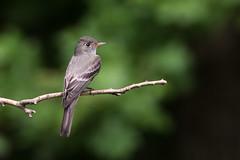 Eastern Wood-Pewee (Contopus virens), Williamson County, Tennessee (kmalone98) Tags: wildlife easternwoodpewee tyrantflycatchers contopusvirens tyrannidae aves