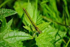 Banded demoiselle (Calopteryx splendens), female (Dave_A_2007) Tags: calopteryxsplendens bandeddemoiselle damselfly insect nature wildlife stratfordonavon warwickshire england