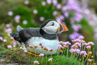 A Sitting Puffin
