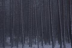 symbolic (Mindaugas Buivydas) Tags: lietuva lithuania color spring march tree trees forest pine snow blizzard winterblue antaviliųmiškas antaviliaiforest twiligh evening mindaugasbuivydas