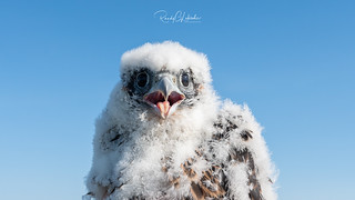 Peregrine Falcon - Falco peregrinus | 2018 - 1