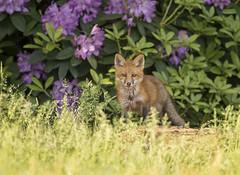 Flower Child...{Explored} (DTT67) Tags: redfoxkit fox redfox kit foxkit mammal animal maryland wildlife nature nationalgeographic canon 1dxmkii 500mmii