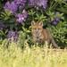 Flower Child... (DTT67) Tags: redfoxkit fox redfox kit foxkit mammal animal maryland wildlife nature nationalgeographic canon 1dxmkii 500mmii