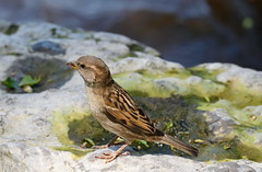Lincoln's Sparrow - 1 (tevfikyildiz) Tags: lincolnssparrow bird oiseau landscape montagne mountain nature neige paysage snow vosgessky serene panaromas river water lactulips springflowers plant woods macro foliage green forest fern mos grass outdoor depthoffield