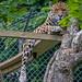 I'm watching you (celia.mulhearn) Tags: jaguar bigcats dartmoorzoo devon sigma18200mmlens