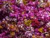 P1020425-M1s (oalard) Tags: bali indonesia flower