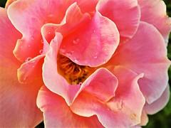 Water Drops  #MacroMondays (marieschubert1) Tags: flower plant pink water drops natur beauty delicate macromondays