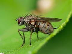 Fly (martin_swatton) Tags: fly insect minibeast fareham hampshire uk olympus omd em1 mkii 60mm 28 macro