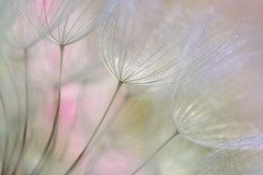 ombrelles (christophe.laigle) Tags: christophelaigle fleur macro salsify flower fuji parcdelaroseraie natural xpro2 xf60mm nature abigfave