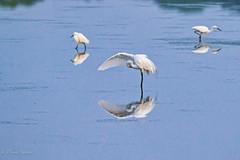 Under My Wing (dngovoni) Tags: action bird bombayhook delaware egret reflection sunrise water wildlife smyrna unitedstates us