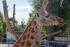 Profilbild (auschmid) Tags: auschmid leicam10 aposummicron75 knie kinderzoo rapperswil schweiz tier giraffe rothschild