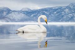 Whooper Swan (BP Chua) Tags: whooperswan swan nature animal wild wildlife snow winter japan hokkaido lake lakekussharo nikon reflection water