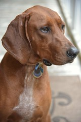 Mr. Sassy Pants a.k.a. Scout (Angela D Beck) Tags: dog pet hound red coonhound portait