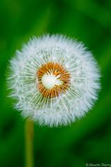 Douceur d'un jour ! (musette thierry) Tags: fleur jardin parc musette macro thierry nikon tameron 90mm28 flower