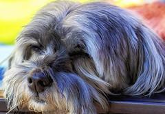 Lazy Day (Vanessa away on vacay) Tags: 90mm moniquesbackyard bogie dog lazy fauna letsleepingdogslie prettypuppy 7dwf animal pet
